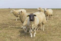 Schafe auf einer Wiese Stockfoto