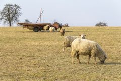 Schafe auf einer Wiese Lizenzfreies Stockbild