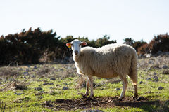 Schafe auf einer Wiese Stockfotografie