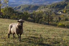 Schafe auf einer Wiese lizenzfreie stockbilder