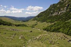 Schafe auf einer Wiese Lizenzfreie Stockfotos