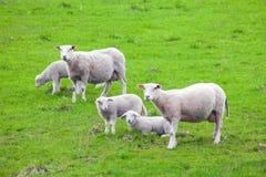 Schafe auf einer Wiese stockfotos