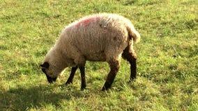 Schafe auf einer Wiese stock video footage