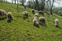 Schafe auf einer Wiese in Vorfrühling 05 Stockfotografie