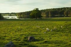 Schafe auf Feld in Schweden Stockbilder