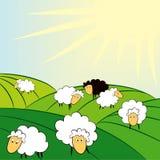 Schafe auf Feld und dem schwarzen  Stockfoto