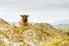 Schafe auf Felsenhügel Stockbilder