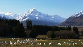 Schafe auf Glentanner-Station mit mt-Koch im Abstand stock video