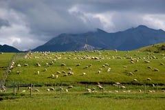 Schafe auf grünem Ackerland Stockfoto