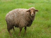 Schafe auf grünem Feld Stockbild