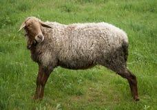 Schafe auf grünem Feld Lizenzfreie Stockfotos