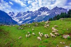 Schafe auf grünem Feld auf den höchsten Bergen Stockbilder
