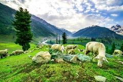 Schafe auf grünem Feld auf den höchsten Bergen Stockbild