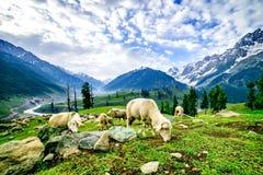 Schafe auf grünem Feld auf den höchsten Bergen Lizenzfreies Stockfoto