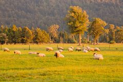 Schafe auf grünem Glas mit Berg Lizenzfreie Stockfotos