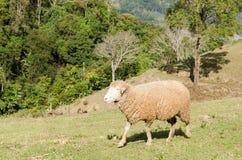 Schafe auf grünem Gras in einer Wiese Lizenzfreies Stockbild