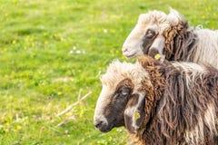 Schafe auf grüner Wiese im Frühjahr, Frankfurt lizenzfreie stockfotos