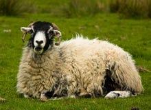 Schafe auf graas Lizenzfreie Stockbilder