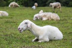 Schafe auf Gras Lizenzfreie Stockbilder