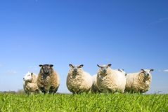 Schafe auf Gras mit blauem Himmel Stockfotos