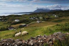 Schafe auf Gras in Schottland lizenzfreie stockfotografie