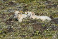 Schafe auf Island Lizenzfreies Stockfoto