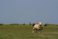 Schafe auf Links eines Golfs Stockbilder