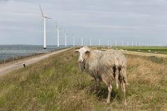 Schafe auf Niederländisch fangen nahe Meer und Windkraftanlagen auf Lizenzfreie Stockfotografie