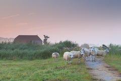 Schafe auf niederländischem Ackerland bei nebelhaftem Sonnenaufgang Stockbilder