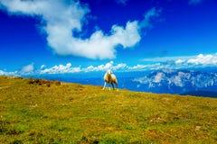 Schafe auf schöner wilder Wiese mit Berglandschaft auf Hintergrund Stockfoto