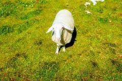 Schafe auf schöner wilder Wiese mit Berglandschaft auf Hintergrund Stockfotos