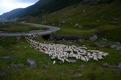 Schafe auf Straße Stockfoto