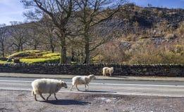 Schafe auf Straße in Wales stockfoto