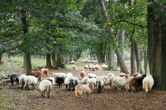 Schafe auf Waldweg Stockbilder