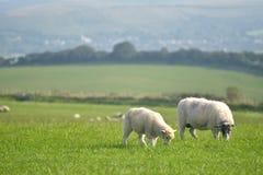 Schafe auf Weg, Swyre-Kopf Lizenzfreie Stockbilder