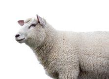Schafe auf weißem Hintergrund Stockfoto