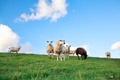 Schafe auf Weide über blauem Himmel Stockbild