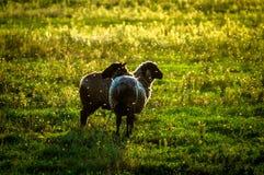 Schafe auf Weide bei Sonnenuntergang Stockbilder