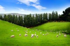 Schafe auf Wiese Stockfotos