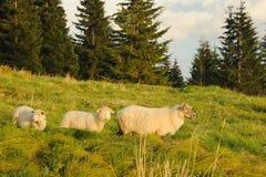 Schafe auf Wiese Lizenzfreies Stockfoto