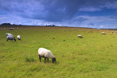 Schafe auf Wiese Lizenzfreie Stockfotografie
