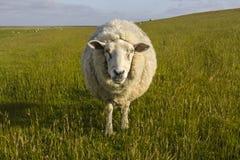 Schafe auf Wiese Stockfoto