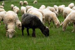 Schafe auf Wiese Lizenzfreies Stockbild