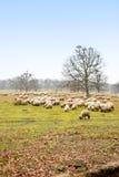 Schafe auf Wiese Stockbild