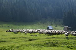 Schafe auf Wiese Stockbilder
