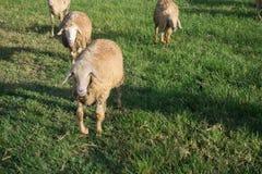 Schafe auf Wiese am Abend Stockfotos