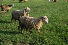 Schafe auf Wiese am Abend Stockbilder