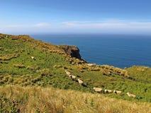 Schafe auf Wiese an der Küste Lizenzfreie Stockfotos
