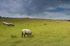 Schafe auf Wiese in der Sommerzeit nach Regen Stockbilder