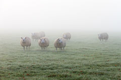 Schafe aus dem Nebel heraus Lizenzfreie Stockfotos